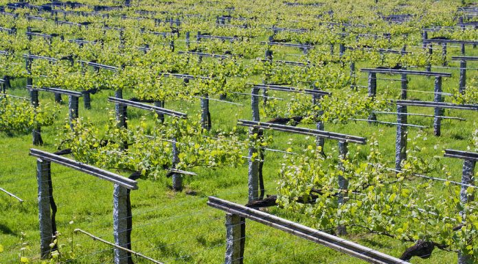 Uno de los viñedos de las Rías Baixas.